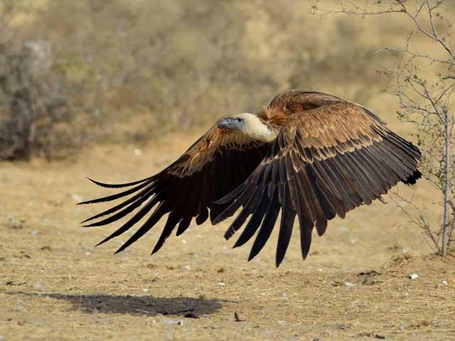 birding - vultures - India