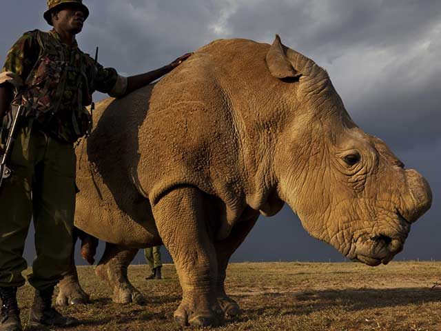 What The Death Of The Last Male White Rhino Tells Us