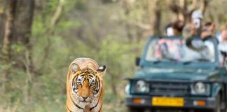 How To Spot Tigers In Ranthambhore?