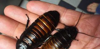 Here Is Why The Chinese Grow Billions Of Cockroaches