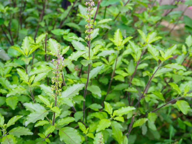 Time For Your Tulsi To Enter Your Kitchen!